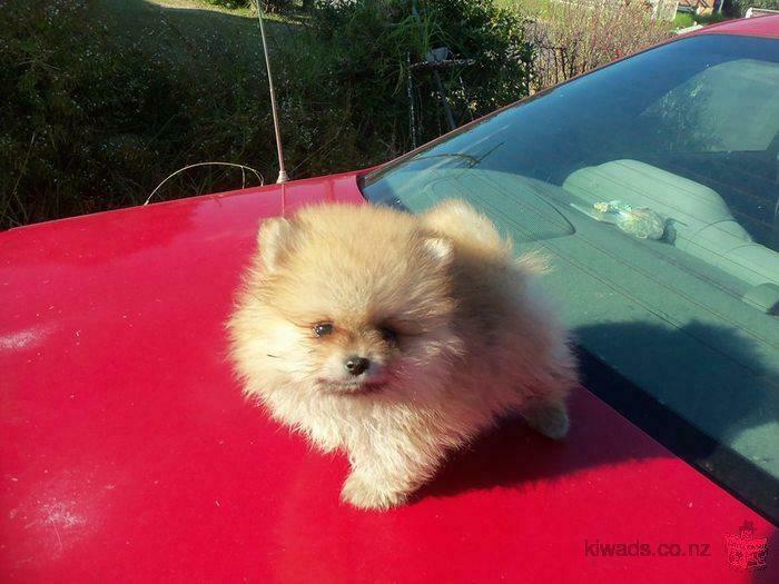 $250, Gorgeous Pomeranian Puppies Ready Now ( Makle & Female .)