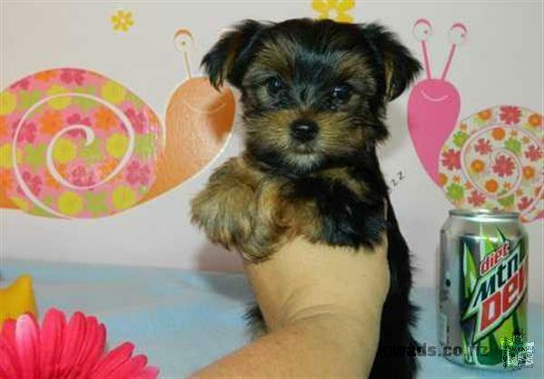 Quality Teacup Yorkies & Maltese Puppies.