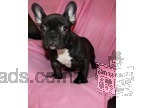 Stunning French Bulldog Pupppies Available Now