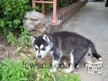 We have Siberian Husky puppies for adoption text at (724) 381-1335